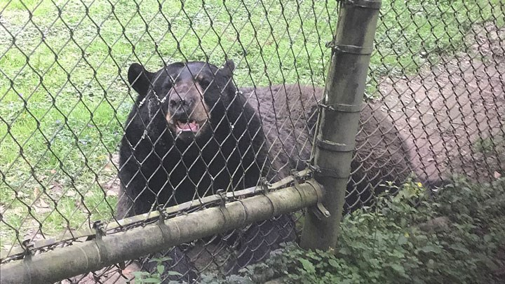 black bear behind chain link fence