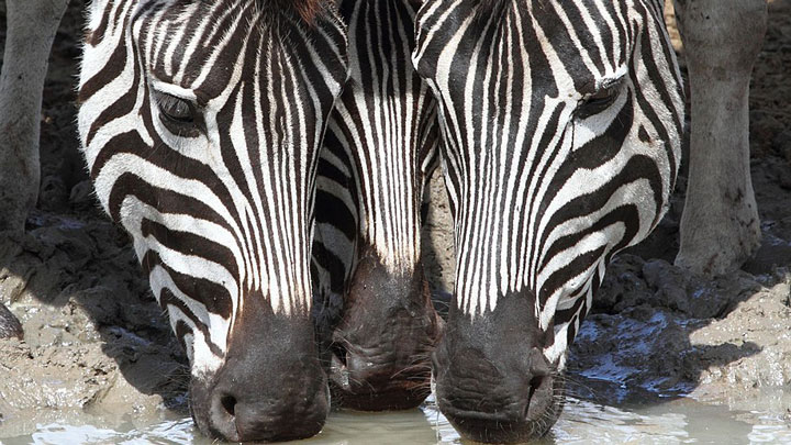 three zebras drink from a waterhole