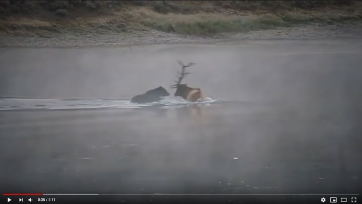 Caught on Video: Grizzly Kills Mature Bull Elk in Yellowstone Park