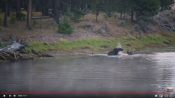 grizzly bear drags bull elk carcass to shore in yellowstone national park