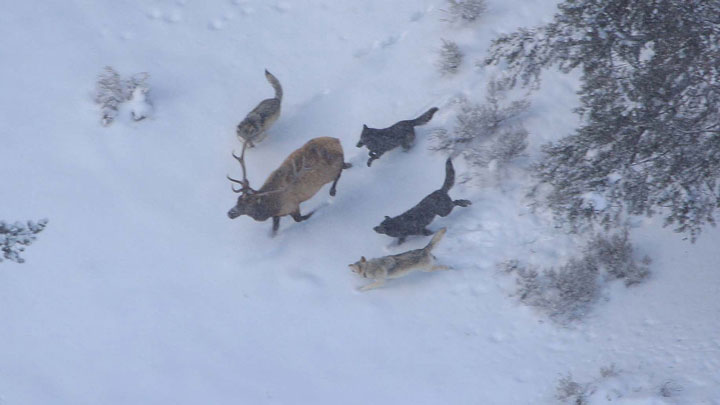 wolves chase down an elk in the wild