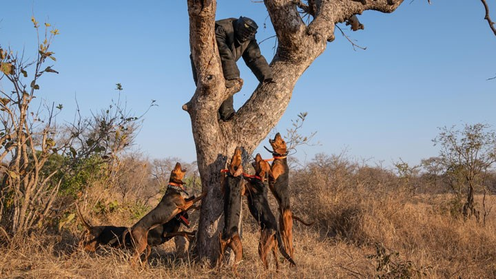 Trained Scent Hounds Nabbing Poachers to Protect South Africa's Rhino