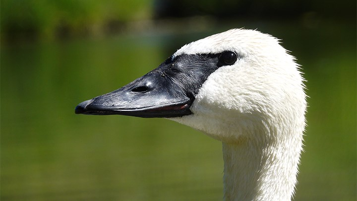 Birds of a Feather: Hunter-Led Conservation Ensured a Future for America's Iconic Swan Species