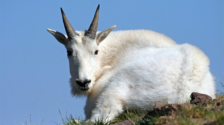 Mountain Goats: A Wilderness Icon On the Way Out?