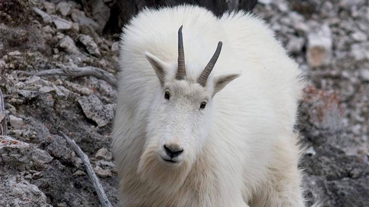 mountain goat in its native habitat