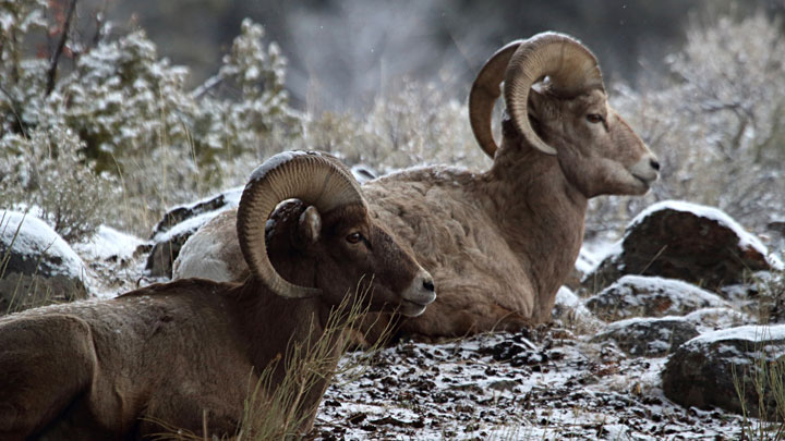 bighorn sheep bedded in the mountains