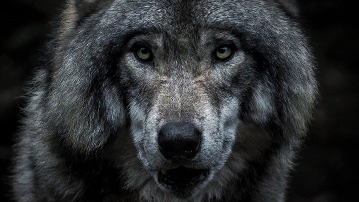 NRA Gives Hunters a Voice in Three Gray Wolf Delisting Lawsuits