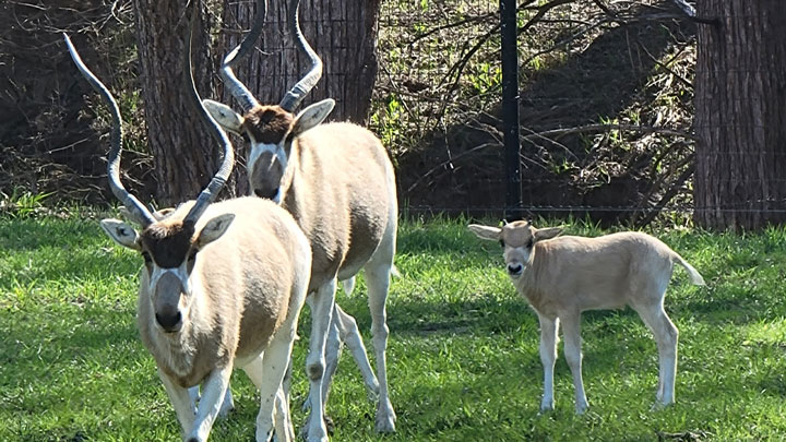 addax in the Texas Hill Country