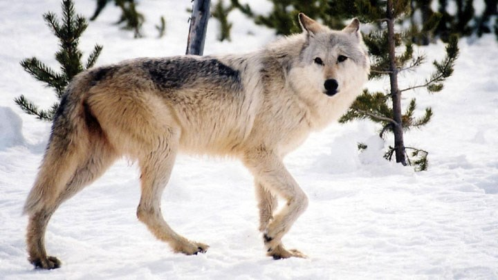 Judge Says NRA and SCI Have Right to Intervene in Lawsuits over Gray Wolf Delisting
