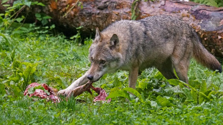 Scientists Pushing Feds to Relist Recovered Gray Wolves