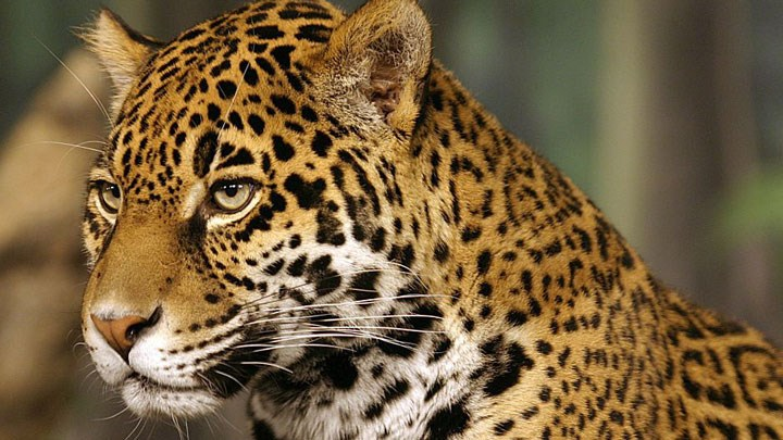 Scientists Say U.S. Jaguar Reintroduction Would Aid Species Expansion