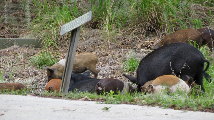 Texas Hunters and Researchers Keep Sights Set on Feral Hog Control