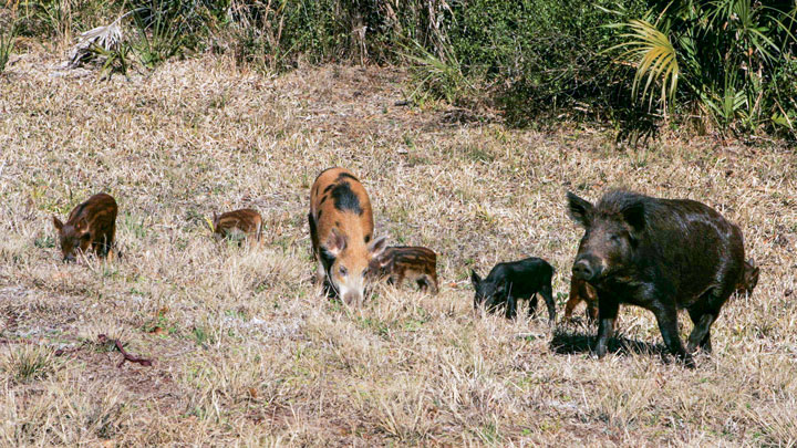 sounder of hogs scrounges for food