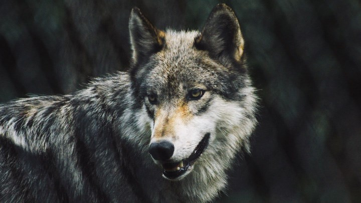 Biden Administration Says President Trump Was Right to Delist Gray Wolf