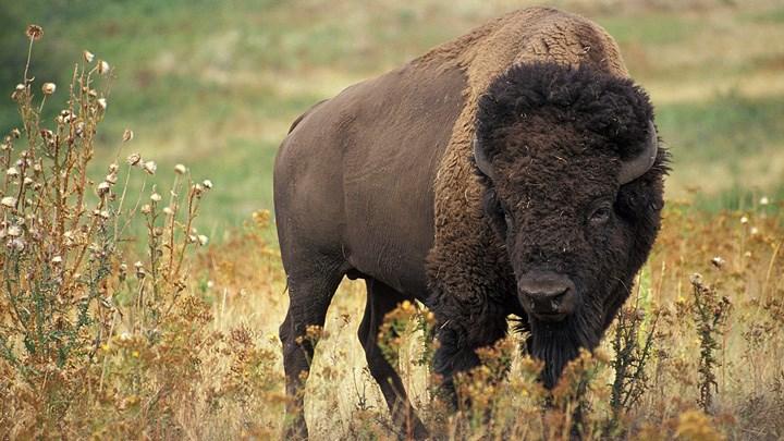 Anti-hunters and Legislators Attack National Park Service over Management of Bison