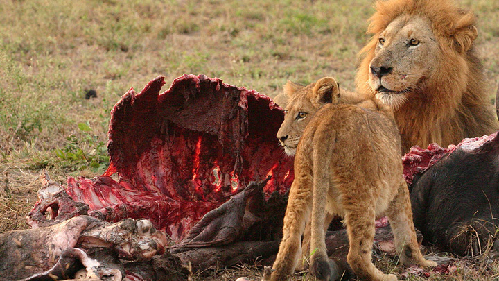 African lions feast on carcass